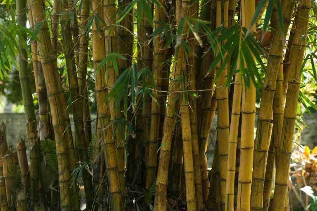 water arrow bamboo for giant panda