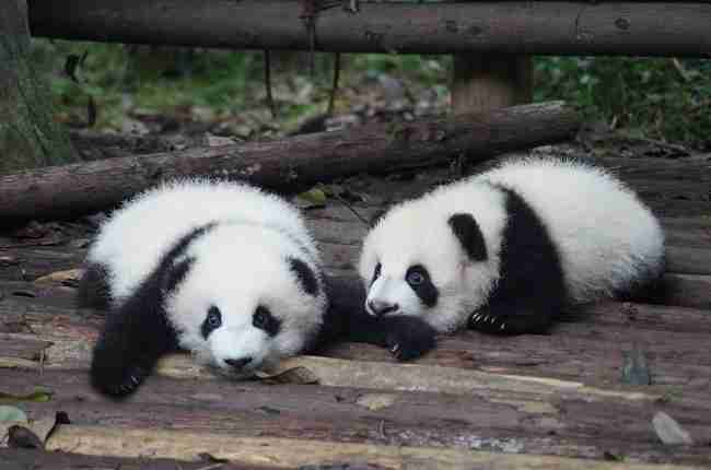 How much does a baby panda cost