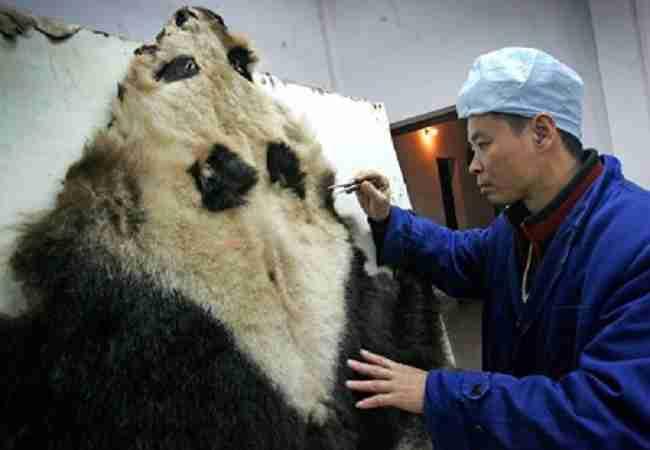 giant panda skin removal