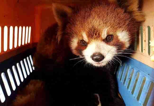 red panda illegal pet trading