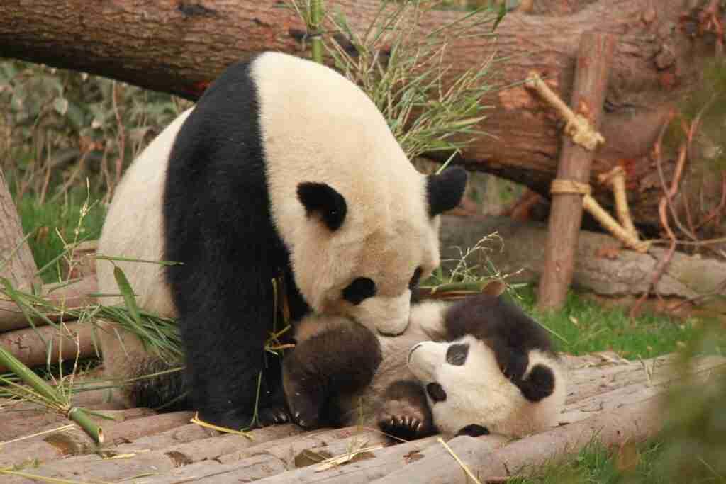 Do Giant Pandas Eat their Babies?