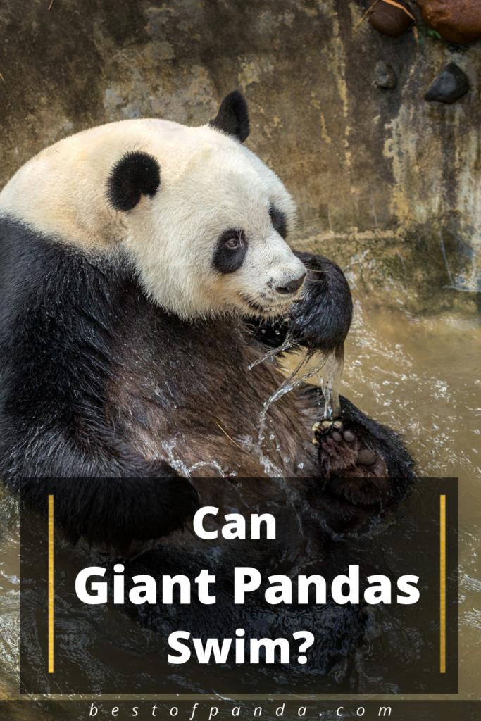 Can Giant Pandas Swim