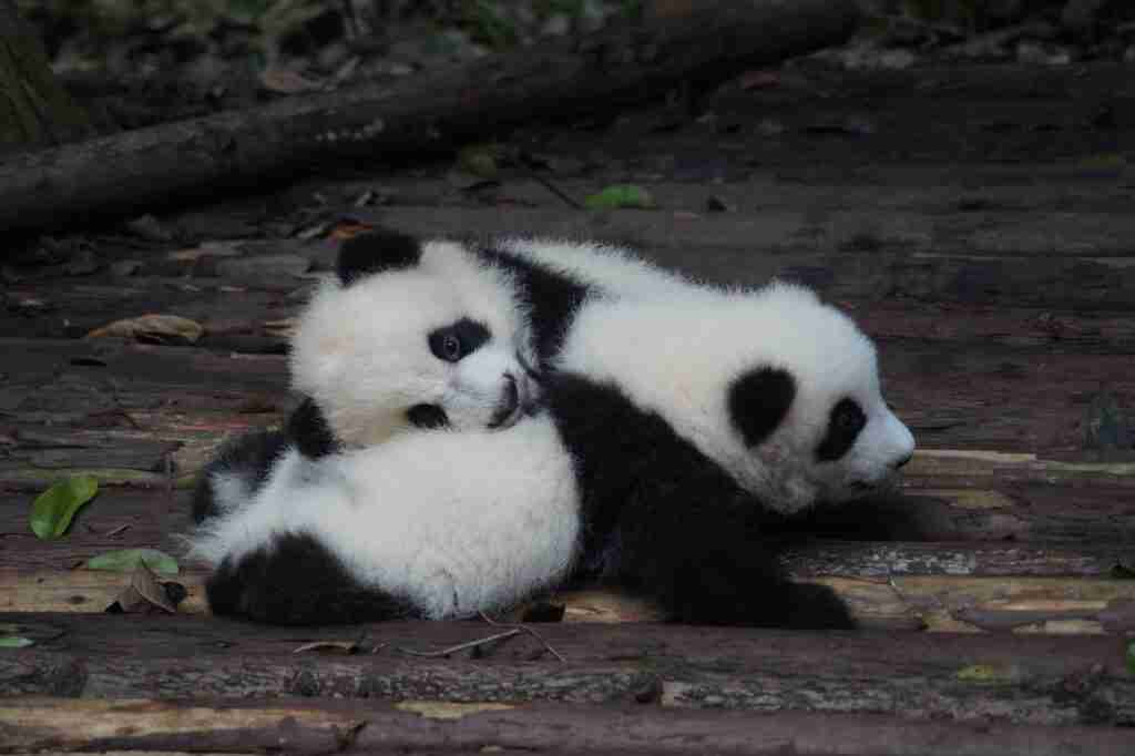 Do giant pandas have tails?