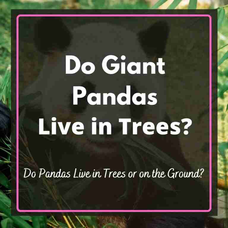 Do giant pandas live in trees or on the ground