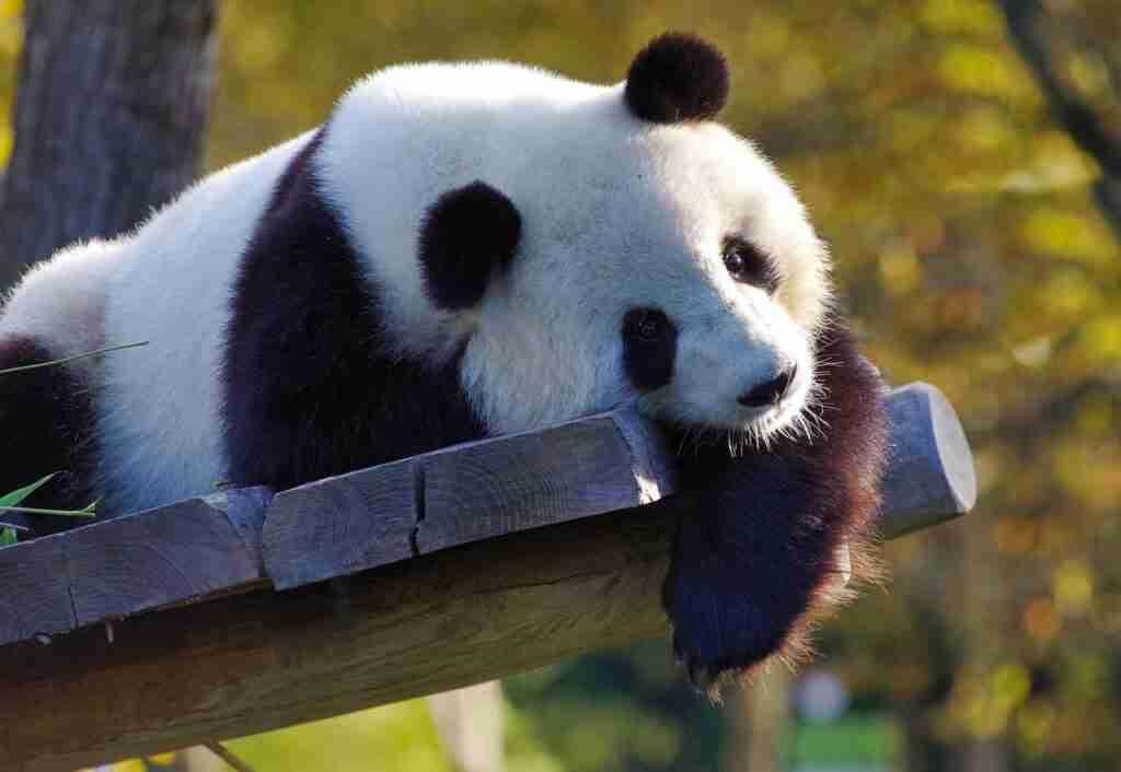 Do Giant Pandas kill their Babies?