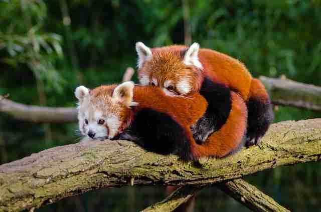 are red pandas marsupial
