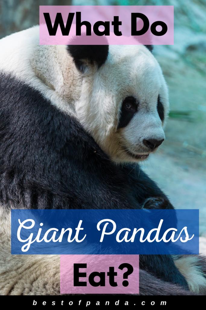 What do giant pandas eat