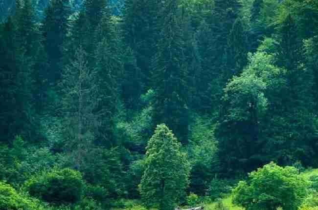 coniferous trees animal dens
