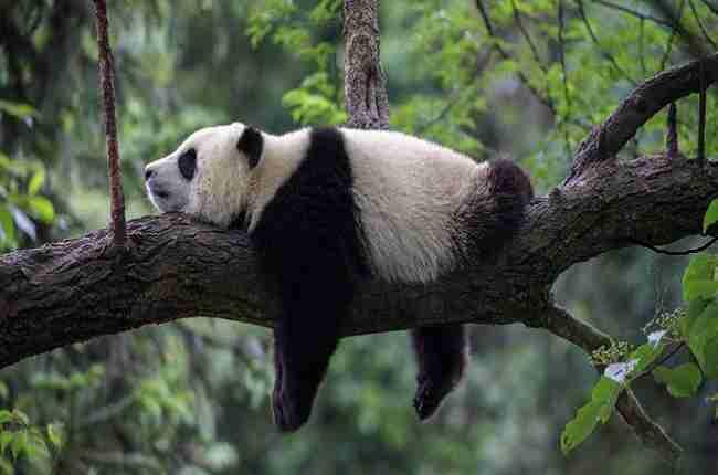 giant panda sleeping on tree