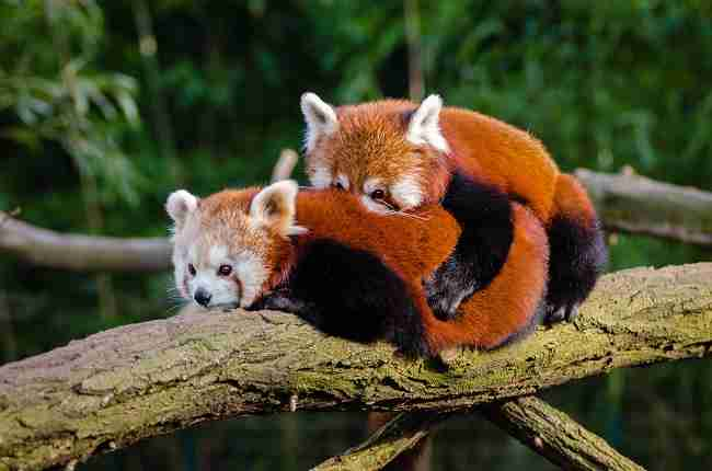 Why do red pandas live in trees