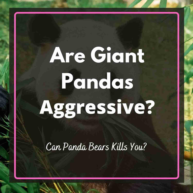 Are Giant Pandas Aggressive