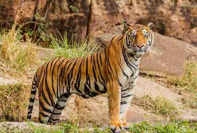 Can pandas kill a tiger