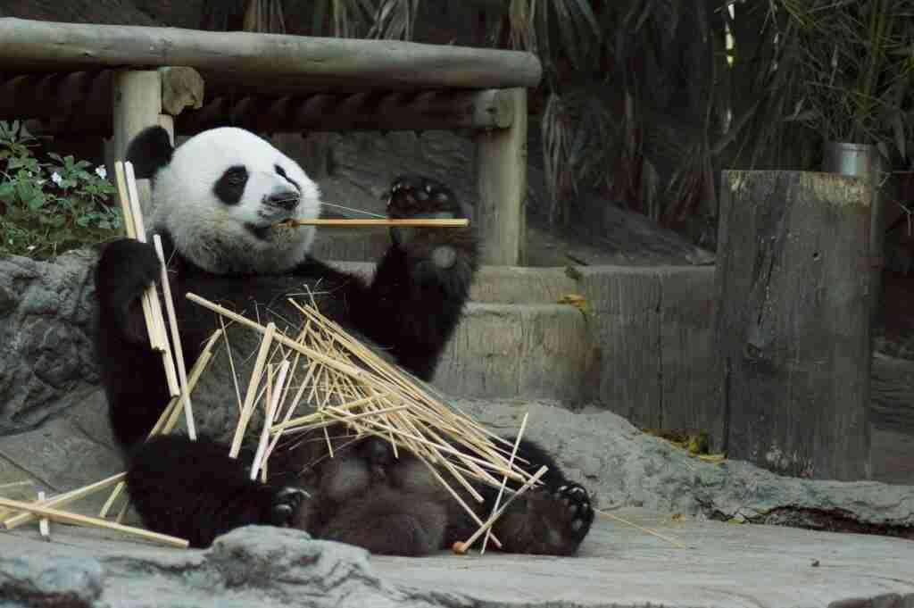 Do giant pandas have pouches