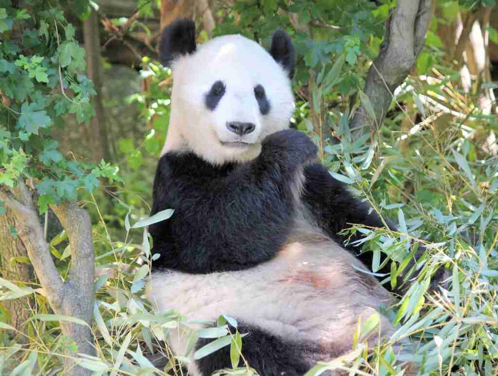 Do giant pandas have belly buttons?