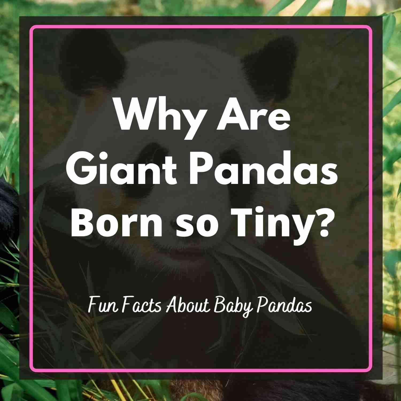Why Are Giant Pandas Born so tiny
