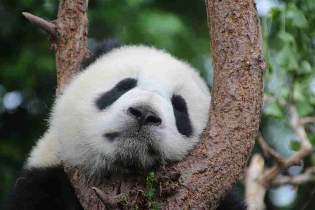 do giant pandas have whiskers