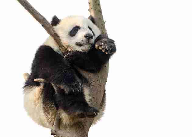 do giant pandas sleep in trees