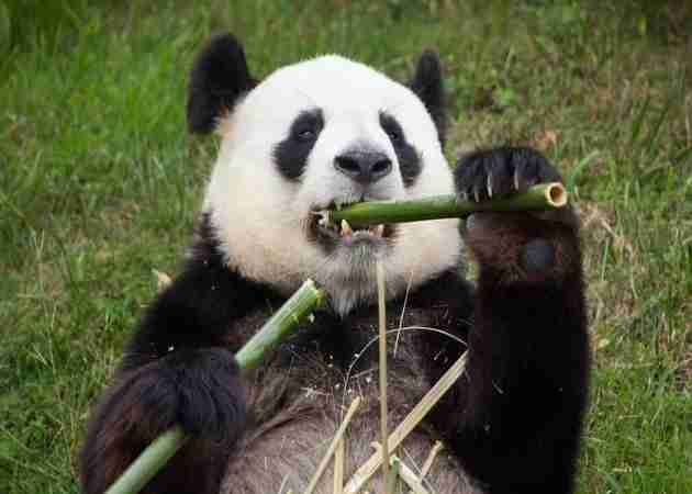 how much time do pandas spend eating