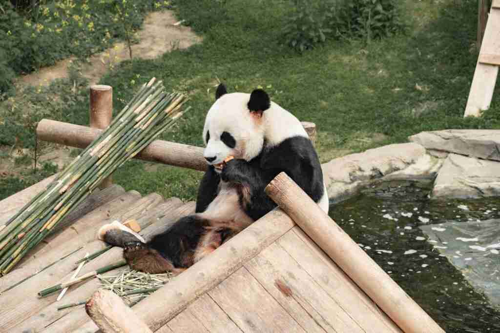 Do giant pandas have thumbs?