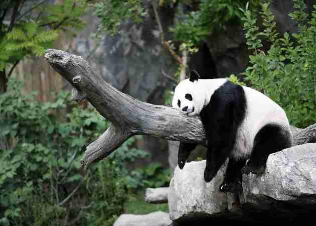 giant panda fun fact sleeping pandas