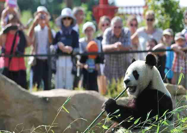 pandas can attract visitors