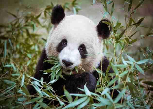 giant panda fun fact