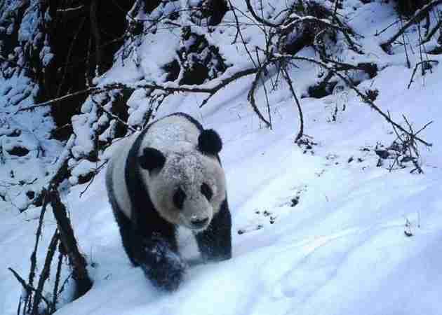pandas love to be alone