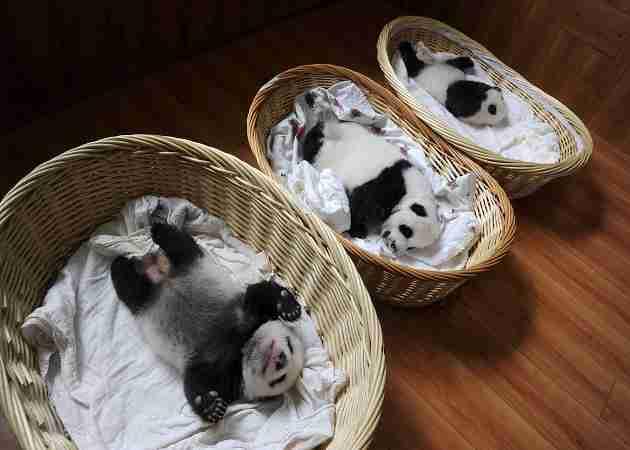 where do giant pandas sleep