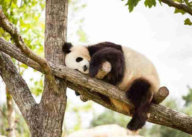 why do giant pandas sleep