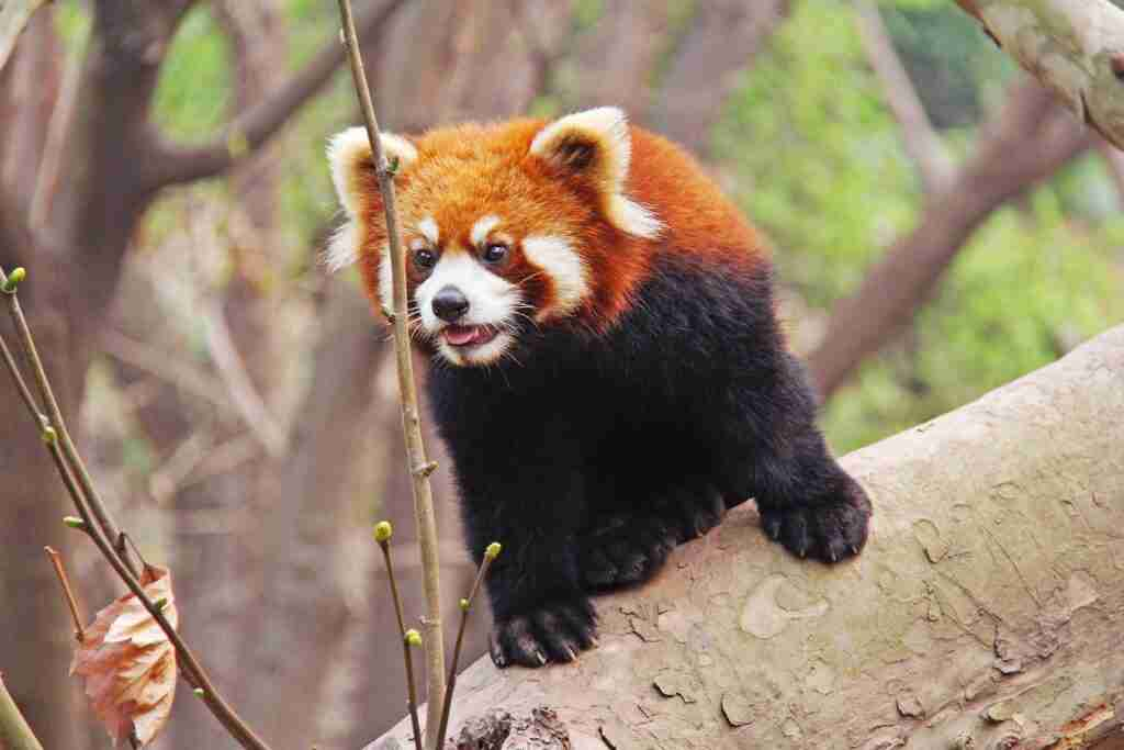 Do red pandas have sharp teeth