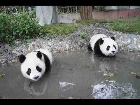 How do giant pandas escape their enemies?