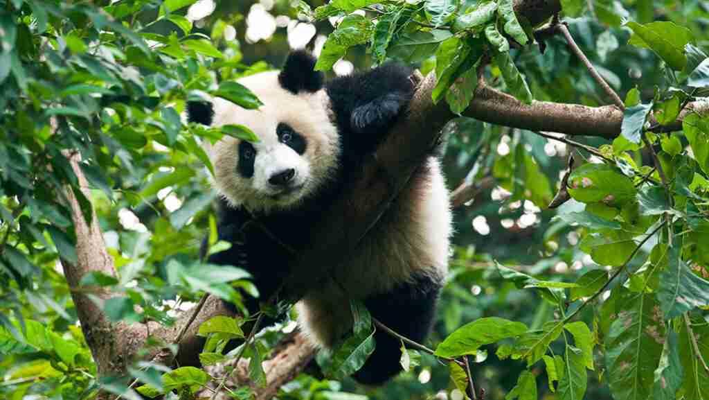 How do giant pandas fight their predators?