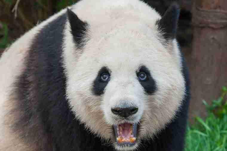 How do pandas fight their predators?