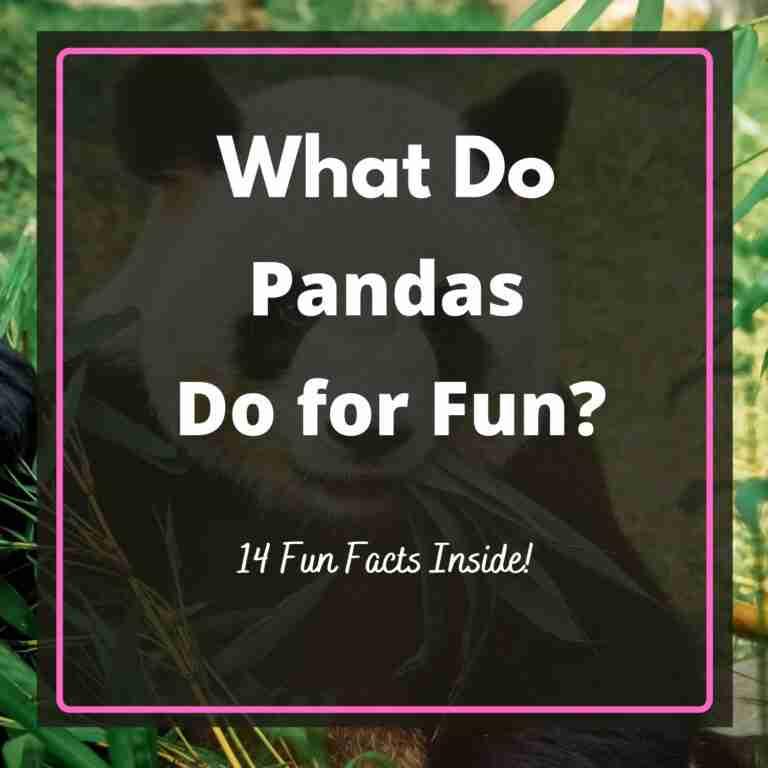 What Do Giant Pandas Do for Fun
