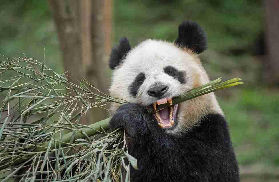 What do giant pandas teeth look like?