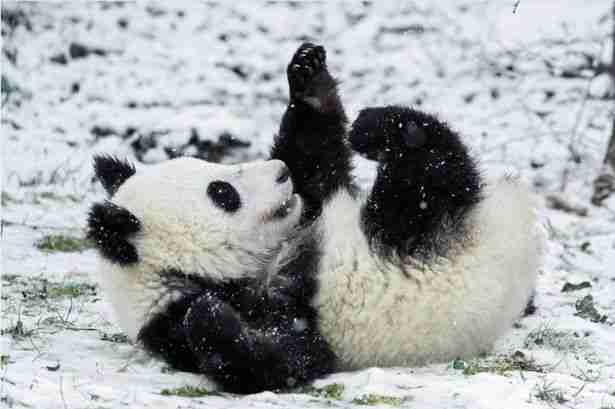 Do giant pandas like to play