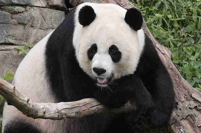 how are pandas different from bears