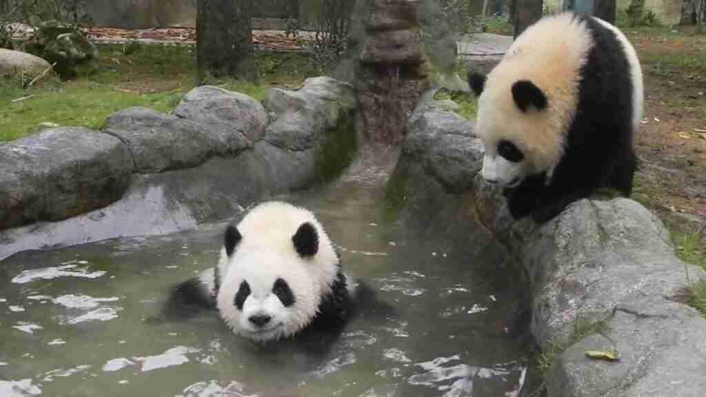 What activities do pandas do?