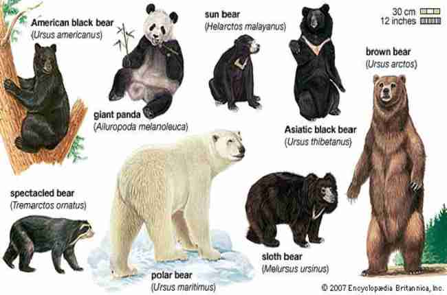 why are giant pandas considered bears