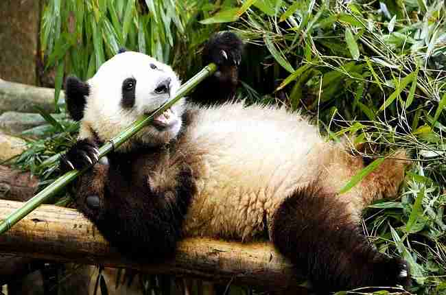 why do pandas eat bamboo and not meat
