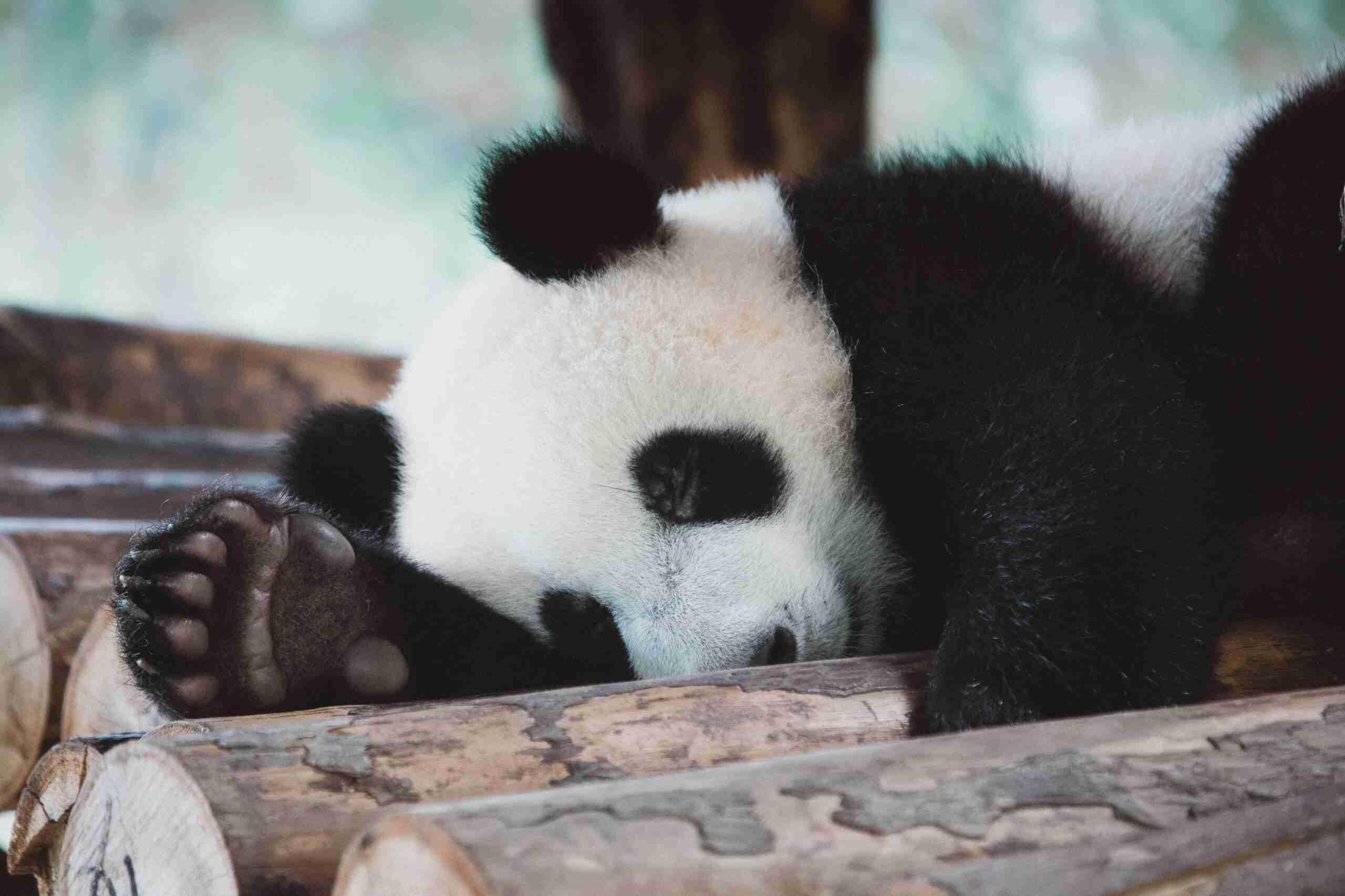 giant pandas have fingers