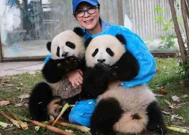 are giant pandas friendly