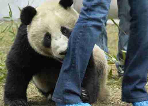 do giant pandas bite