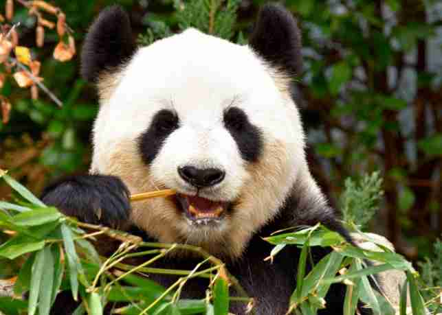 giant pandas don't have whiskers