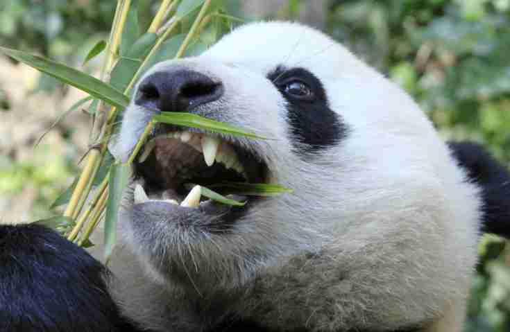 giant pandas have sharp teeth