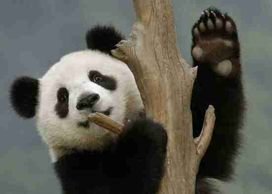 giant pandas have thumbs