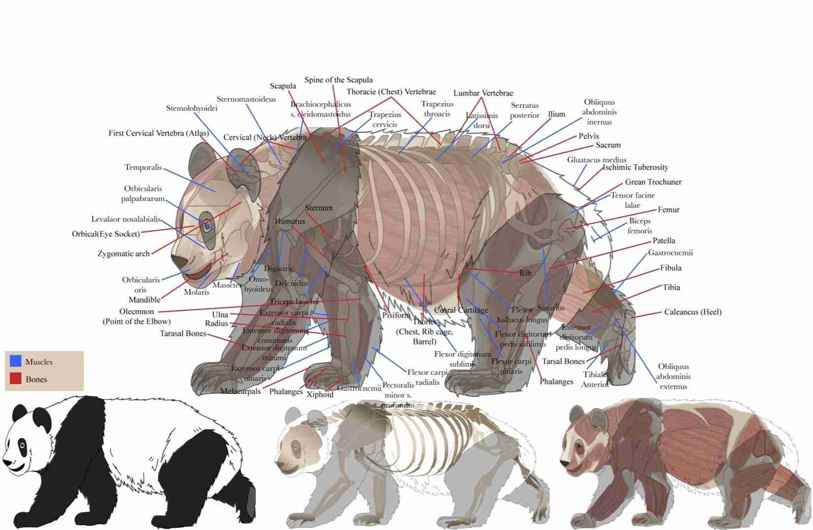 what are the body parts of a giant panda