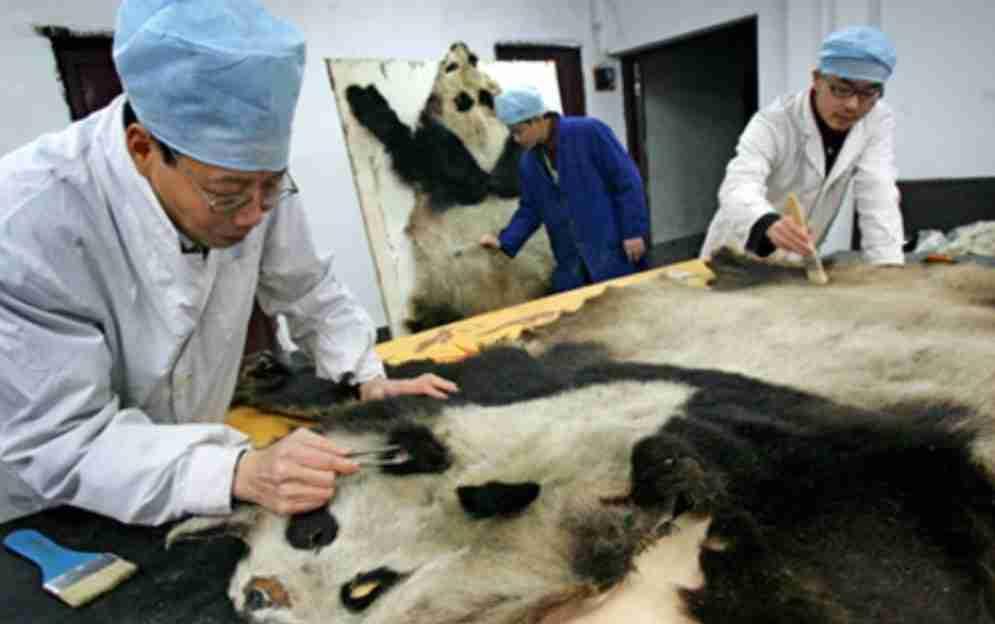 what causes giant pandas to be endangered (animal poaching)