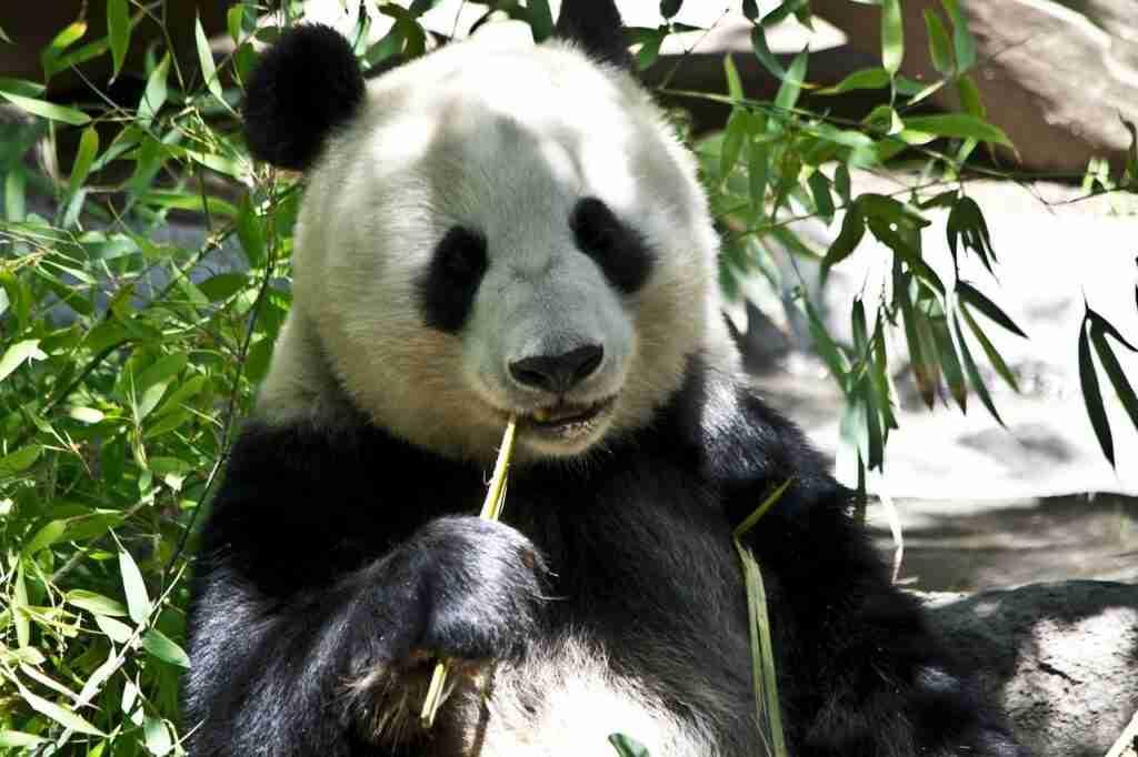 Are Giant Pandas Carnivores, Herbivores or Omnivores?