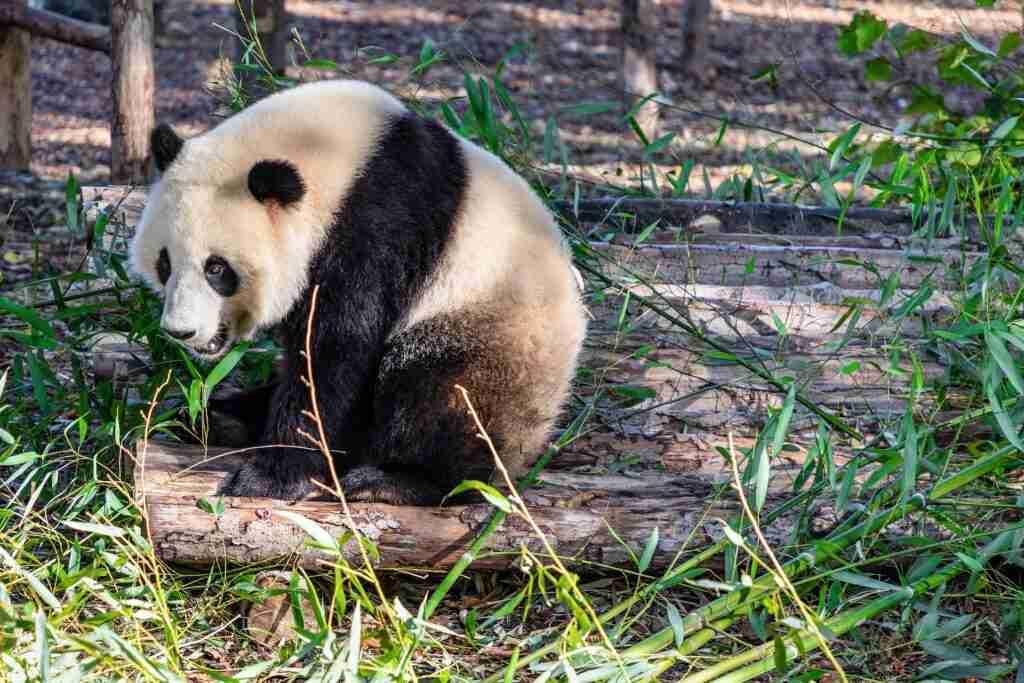Can Giant Pandas Eat Rats